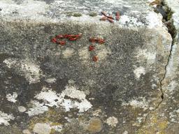 Pyrrhocores sur les pierres au soleil. Source : http://data.abuledu.org/URI/58dae562-pyrrhocores-sur-les-pierres-au-soleil