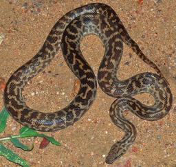 Python tacheté. Source : http://data.abuledu.org/URI/5061bb1a-python-tachete