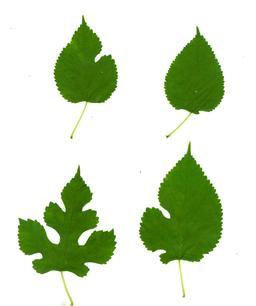 Quatre feuilles de mûrier blanc. Source : http://data.abuledu.org/URI/53942a29-quatre-feuilles-de-murier-blanc
