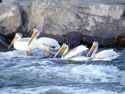 Quatre pélicans blancs. Source : http://data.abuledu.org/URI/5378d099-quatre-pelicans-blancs