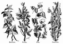 Quatre plantes légumineuses. Source : http://data.abuledu.org/URI/524d739c-quatre-plantes-legumineuses