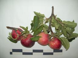 Quatre pommes. Source : http://data.abuledu.org/URI/53427f64-quatre-pommes