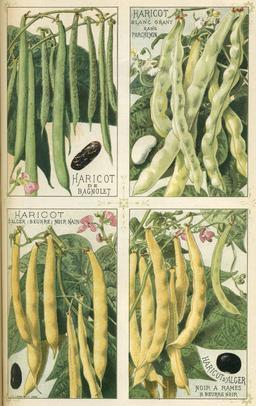 Quatre variétés de haricots. Source : http://data.abuledu.org/URI/50394488-quatre-varietes-de-haricots