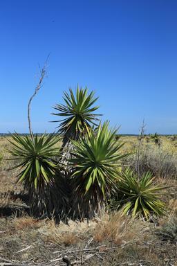 Quatre yuccas au Mimbeau. Source : http://data.abuledu.org/URI/55a799b6-quatre-yuccas-au-mimbeau
