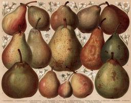 Quinze sortes de poires. Source : http://data.abuledu.org/URI/55eab2cd-quinze-sortes-de-poires