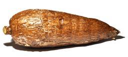 Racine de manioc. Source : http://data.abuledu.org/URI/52d99908-racine-de-manioc