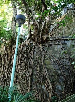 Racines aériennes d'un arbre. Source : http://data.abuledu.org/URI/53ac55ad-racines-aeriennes-d-un-arbre