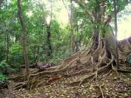 Racines d'un arbre brésilien. Source : http://data.abuledu.org/URI/503b6bc8-racines-d-un-arbre-bresilien