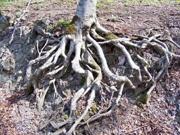 Racines d'un arbre en Bulgarie. Source : http://data.abuledu.org/URI/503b6e24-racines-d-un-arbre-en-bulgarie