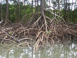 Racines de palétuvier brésilien. Source : http://data.abuledu.org/URI/503b6cef-racines-de-paletuvier-bresilien