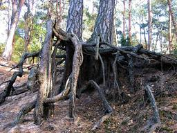 Racines de pins. Source : http://data.abuledu.org/URI/503dc4d4-racines-de-pins