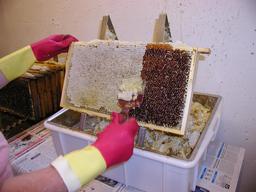 Raclage du miel au peigne. Source : http://data.abuledu.org/URI/51e06f60-raclage-du-miel-au-peigne
