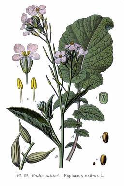 Radis cultivé. Source : http://data.abuledu.org/URI/5071d6f4-radis-cultive