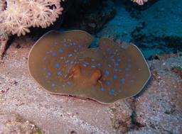Raie pastenague à taches bleues. Source : http://data.abuledu.org/URI/552d6c7b-raie-pastenague-a-taches-bleues