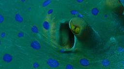 Raie pastenague à tâches bleues. Source : http://data.abuledu.org/URI/552ede76-raie-pastenague-a-taches-bleues