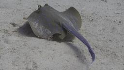 Raie pastenague à tâches bleues. Source : http://data.abuledu.org/URI/552ede88-raie-pastenague-a-taches-bleues
