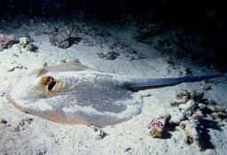 Raie pastenague à taches bleues camouflée dans le sable. Source : http://data.abuledu.org/URI/552d77e7-raie-pastenague-a-taches-bleues-camouflee-dans-le-sable