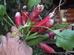Botte de radis. Source : http://data.abuledu.org/URI/536a1376-raphanus-sativus-var-sativus-radish-dscf6413-jpg