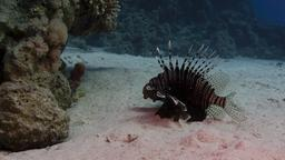 Rascasse volante (Pterois miles). Source : http://data.abuledu.org/URI/552ee281-rascasse-volante-pterois-miles-