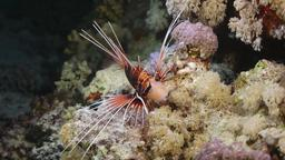 Rascasse volante (Pterois miles). Source : http://data.abuledu.org/URI/552ee2a3-rascasse-volante-pterois-miles-
