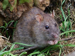 Rat brun. Source : http://data.abuledu.org/URI/47f55c7d-rat-brun