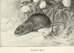 Rat du coton. Source : http://data.abuledu.org/URI/5880ad02-rat-du-coton