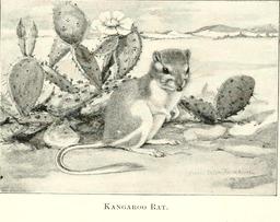 Rat-kangourou du désert. Source : http://data.abuledu.org/URI/5880c1fc-rat-kangourou-du-desert