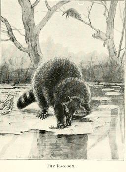 Raton laveur. Source : http://data.abuledu.org/URI/587ebb07-raton-laveur