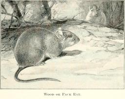 Rats des bois. Source : http://data.abuledu.org/URI/5880bd5c-rats-des-bois