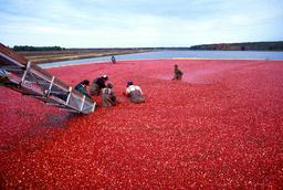 Récolte de canneberge en Amérique du Nord. Source : http://data.abuledu.org/URI/534a7b13-recolte-de-canneberge-en-amerique-du-nord