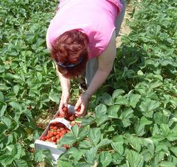 Récolte de fraises. Source : http://data.abuledu.org/URI/534bb913-recolte-de-fraises