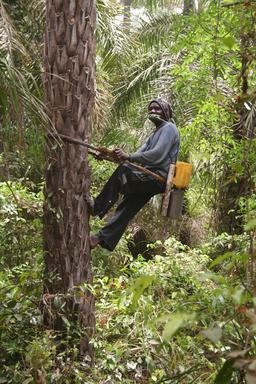 Récolte de vin de palme au Sénégal. Source : http://data.abuledu.org/URI/52e0377c-recolte-de-vin-de-palme-au-senegal