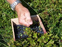 Récolte des myrtilles au peigne. Source : http://data.abuledu.org/URI/5058d70b-recolte-des-myrtilles-au-peigne