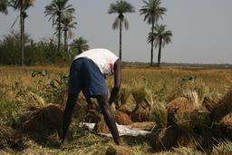 Récolte du riz en Casamance. Source : http://data.abuledu.org/URI/54934919-recolte-du-riz-en-casamance