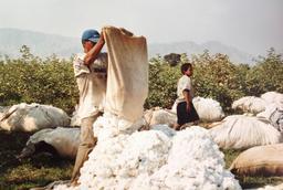 Récolte manuelle du coton au Pérou. Source : http://data.abuledu.org/URI/51018afe-recolte-manuelle-du-coton-au-perou
