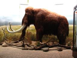 Reconstitution d'un mammouth. Source : http://data.abuledu.org/URI/52ee852c-reconstitution-d-un-mammouth