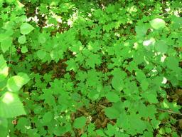 Régénération naturelle d'érables. Source : http://data.abuledu.org/URI/582e9db3-regeneration-naturelle-d-erables