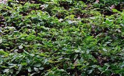 Régénération naturelle d'érables. Source : http://data.abuledu.org/URI/582e9e40-regeneration-naturelle-d-erables
