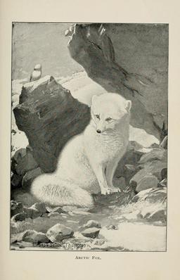 Renard arctique. Source : http://data.abuledu.org/URI/587fbc8d-renard-arctique