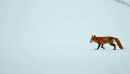 Renard dans la neige. Source : http://data.abuledu.org/URI/47f4967c-renard-dans-la-neige