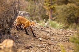 Renard dans les bois. Source : http://data.abuledu.org/URI/52dc41a7-renard-dans-les-bois