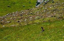 Renard polaire en Islande. Source : http://data.abuledu.org/URI/5378dd12-renard-polaire-en-islande