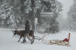 Renne en hiver. Source : http://data.abuledu.org/URI/5907a47c-renne-en-hiver