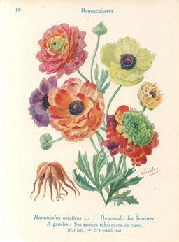 Renoncules des fleuristes. Source : http://data.abuledu.org/URI/53adbaf3-renoncules-des-fleuristes