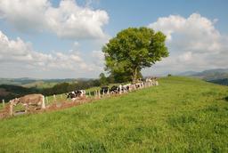 Rentrée des vaches le soir pour la traite. Source : http://data.abuledu.org/URI/5156a763-rentree-des-vaches-le-soir-pour-la-traite