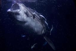 Requin baleine et plancton. Source : http://data.abuledu.org/URI/54d0f792-requin-baleine-et-plancton