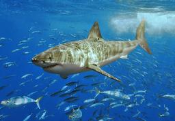 Requin blanc. Source : http://data.abuledu.org/URI/47f3f7c3-requin-blanc