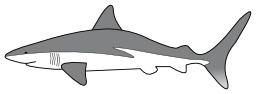 Requin gris. Source : http://data.abuledu.org/URI/47f5ca25-requin-gris