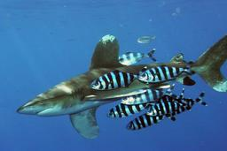 Requin longimane océanique et poissons pilotes. Source : http://data.abuledu.org/URI/50e6423b-requin-longimane-oceanique-et-poissons-pilotes
