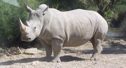 Rhinocéros blanc. Source : http://data.abuledu.org/URI/50618881-rhinoceros-blanc